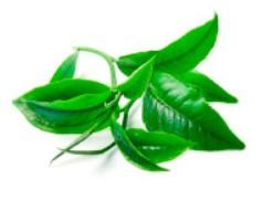Extractul de ceai verde matcha